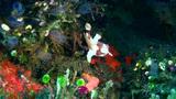 Warty frogfish (Antennarius maculatus) juvenile, w Footage