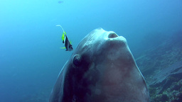 Oceanic sunfish (mola-mola) being cleaned by bannerfishes, close up mouth Footage