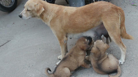 Stray Dog Feeding ??puppies On The Street stock footage