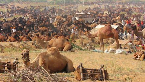 Camels during Pushkar Camel Fair Footage