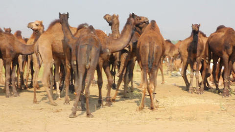 Camels during Pushkar Camel Fair Footage