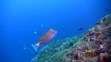 Male whitespotted boxfish (Ostracion meleagris) ov Footage