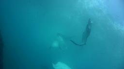 Bunch Of Giant Manta Ray (Manta Blevirostris) Swim stock footage