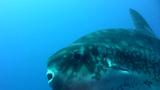 Oceanic sunfish (Mola mola) swimming towards camer Footage