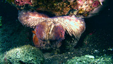 Reef octopus (Octopus sp.) close up Footage