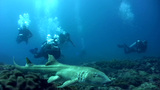 Tawny nurse shark (Nebrius ferrugineus) swimming v Footage