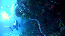 Banded sea krait (Laticauda colubrina) swimming al Footage