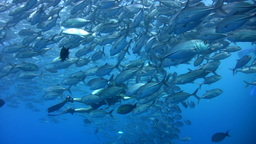 School of bigeye trevally (Caranx sexfasciatus) wi Footage