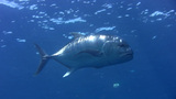 Giant trevally (Caranx ignobilis) close up Footage