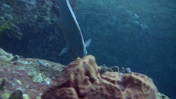 Blue-spine Unicornfish (Naso Unicornis) Eating, Cl stock footage