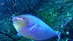 Bignose Unicornfish (Naso Vlamingii) Changing Colo stock footage