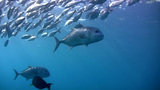 Giant trevally (Caranx ignobilis) along with bigey Footage