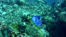 Redtooth triggerfish (Odonus niger) Footage