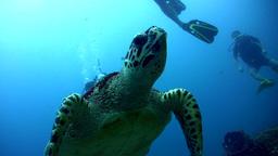 Hawksbill turtle (Eretmochelys imbricata) swimming Footage