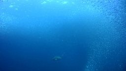 Green sea turtle (Chelonia mydas) swimming into a  Footage