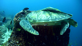 Green sea turtle (Chelonia mydas) laying inside ba Footage