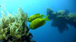 Coral rabbitfish (Siganus corallinus) on the Liber Footage