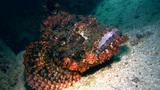 Scorpionfish moving slowly Footage