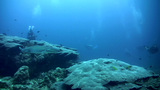 Whitetip reef shark (Triaenodon obesus) swimming w Footage