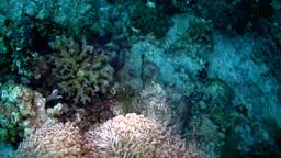 Reef stonefish (Synanceia verrucosa) walking Footage