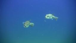 Starry pufferfish (Arothron stellatus) swimming in Footage