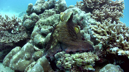 Common reef octopus (Octopus cyanea) checking out  Footage