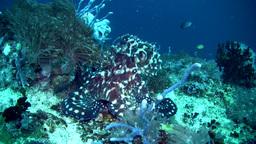 Common reef octopus (Octopus cyanea) swimming Footage