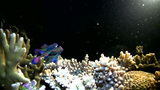 Mandarinfishes (Synchiropus splendidus) mating Footage