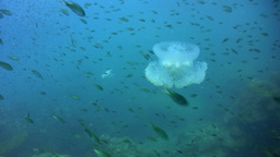 A cloud of Damselfishes with a jellyfish swimming  Footage