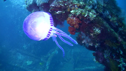 Purple jellyfish on the Liberty Wreck Footage