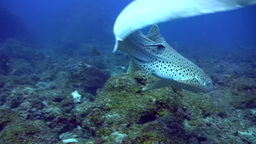 Zebra or Leopard shark (Stegostoma fasciatum) swim Footage