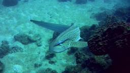 Zebra or Leopard shark (Stegostoma fasciatum) swim Footage
