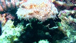 Graeffi sea cucumber (Pearsonathuria graeffei) cra Footage