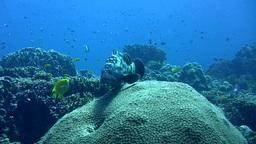 White-spotted grouper (Epinephelus caeruleopunctat Footage