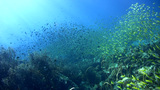 School of damselfishes and fusiliers over coral re Footage