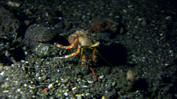 Anemone hermit crab (Dardanus pedunculatus) withou Footage