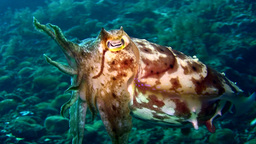 Broadclub cuttlefish (Sepia latimanus) changing co Footage