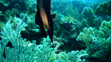 Shaded batfish (Platax pinnatus) juvenile Footage