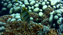 Beaked coralfish (Chelmon rostratus) close up Footage