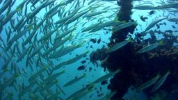 Yellowtail barracuda (Sphyraena flavicauda) on top Footage