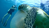 Green sea turtle (Chelonia mydas) eating jellyfish Footage