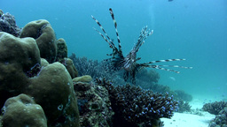 Common lionfish (Pterois volitans) swimming toward Footage