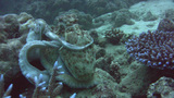 Reef octopus (Octopus Cyanea) changing color and h Footage