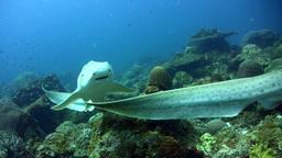 Zebra or leopard shark (Stegostoma fasciatum) mati Footage