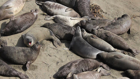 Two Elephant Seals Fighting With Each Other Footage