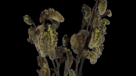 Time-lapse of growing willow catkins 8d1 with ALPH Footage