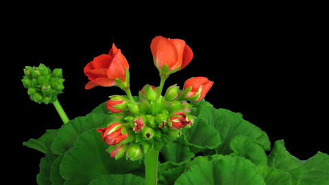 Time-lapse of opening red geranium (Pelargonia) fl Footage