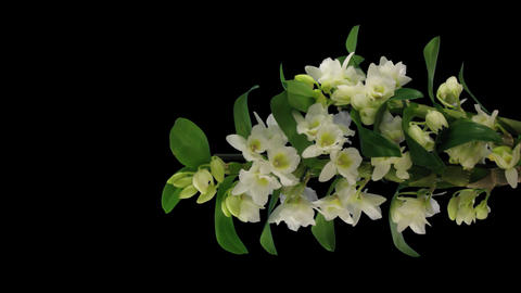 Time-lapse of opening Orchid Dendrobium 2v1 with A Live Action