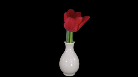 Time-lapse of opening red tulip in a vase 12x1 ALP Live Action