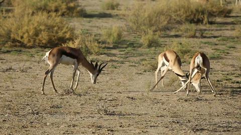 Fighting springbok antelopes Footage